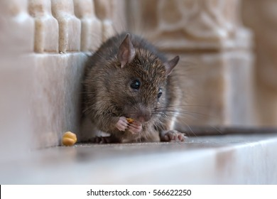 Little rat eating food