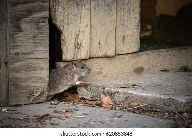 Little rat / mouse peeking from the whole of wooden cottage