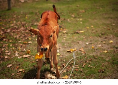 Little red calf chews leaf thoughtfully, pretending he is busy