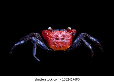 Little Red devil Crab isolated on black