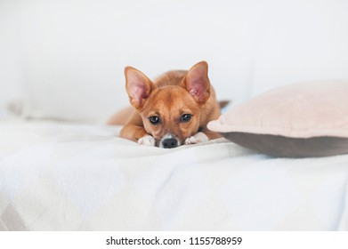 little red dog laying on white bed and looking in camera