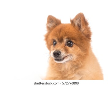 little red dog lying on a white background
