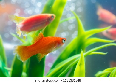 Little red fish with green plant in fish tank or aquarium underwater life concept.
