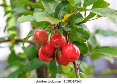 Little red fruits on Plumleaf crab apple tree. Malus prunifolia or Chinese crabapple apples