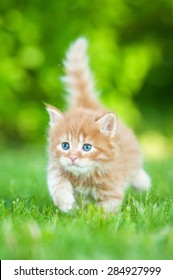 Little red kitten with blue eyes walking outdoors