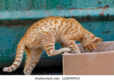 Little red kitten, climbs into a cardboard box on green background
