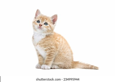 little red kitten in front of a white background