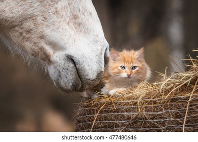 Little red kitten with a horse