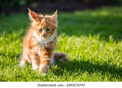 Little red kitty maine coon on the grass