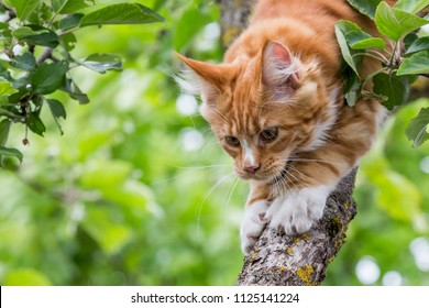 Little red maine coon on the tree looking down