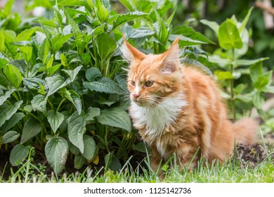 Little red maine coon playing on the grass