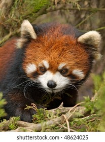 A Little Red Panda