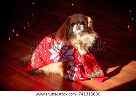 little red pekingese dog with christmas lights at cozy home new year santa dog