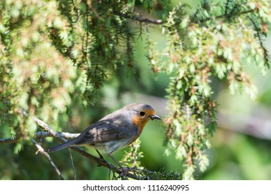 A little red robin with food in his beak sitting an a twig in a juniper bush