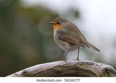 Little red robin on a cold morning in Belgium