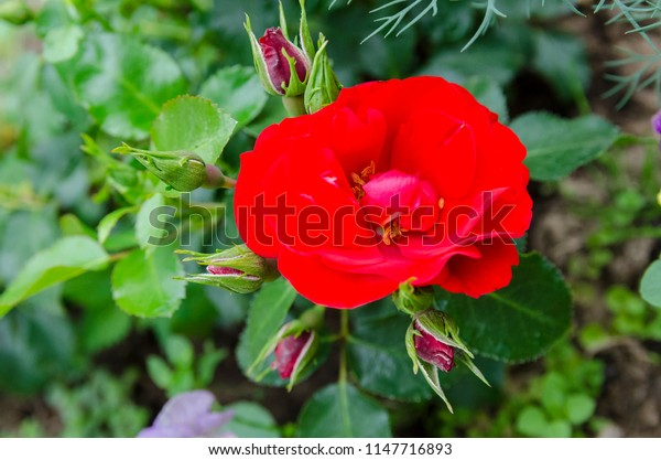 little red rose blooms in the garden