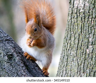 little red squirrel in winter forest on the trunk of tree