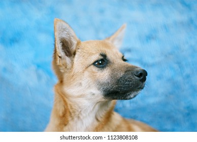 Little red-haired dog sits on a blue background