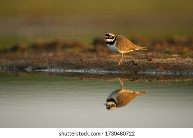 Little ringed plover bird in the wetlands standing on the shore in beautiful morning light with reflection in the water