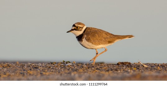 Little Ringed Plover - Charadrius dubius - on the coast of Curonian lagoon, Lithuania