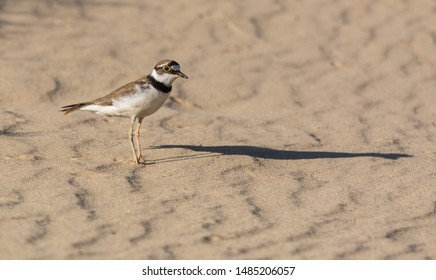 Little Ringed Plover (Charadrius dubius) stands on the sand. Photo was takein in Ukraine