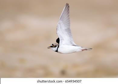 Little ringed plover (Charadrius dubius) in flight