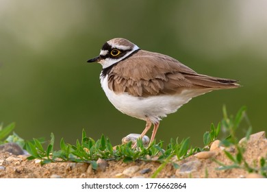 Little Ringed Plover female standing motionless in grss, closeup. Looking for food. Genus species Charadrius dubius.