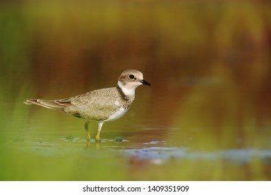 Little ringed plover on puddle