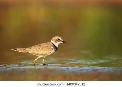 Little ringed plover on wetland