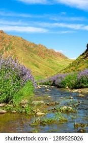 Little river with flowers passing through Yol Valley in Gobi Desert on a perfect blue day (Gobi Desert, Mongolia, Asia)