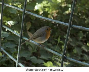Little robin bird on a fence
