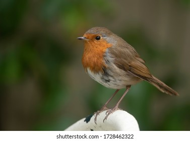 little robin on a perch