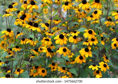 Little rudbeckia flowers in the flowerbed