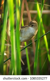 Little rush-warbler peeking out from behind the green reeds