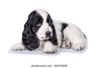 Little sad english cocker spaniel puppy lying isolated on white