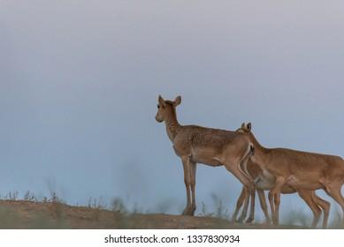 Little saiga calf. Saiga tatarica is listed in the Red Book, Chyornye Zemli (Black Lands) Nature Reserve, Kalmykia region, Russia