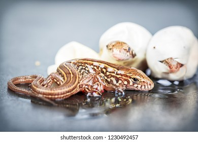 Little Sand lizards hatching from an eggs, selective focus