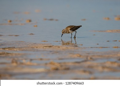 Little Sandpiper looking for food in Pink lagoon, Sandpiper bird in Las Coloradas in Mexico, reflection of sea bird, birdwatching in Mexico