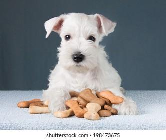 Little schnauzer puppy with dog biscuits bones
