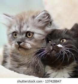 Little scottish straight kittens