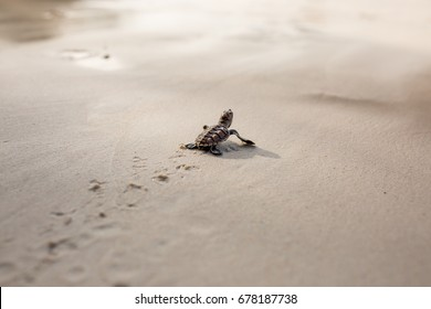 Little Sea Turtle Cub, Crawls along the Sandy shore in the direction of the ocean to Survive, Hatched, New Life, Saves, Way to life, Tropical Seychelles, footprints in the sand, forward to a new life