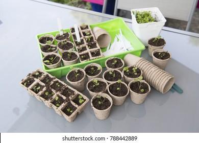 Little seeded plants transplant in flower pots for the garden