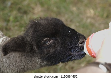 Little sheep drinking mild out of a bootle