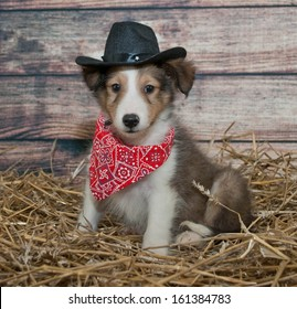Little Sheltie puppy dressed up in a cowboy outfit in a barn scene.