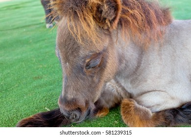 A little shetland horse lying down with eyes closed.