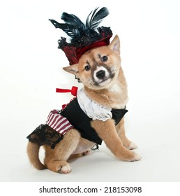 Little Shiba Inu puppy dressed up in a pirate wench outfit looking very proud of herself on a white background.