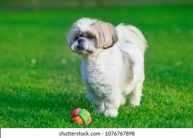 Little Shih itzu dog in the grass with a ball