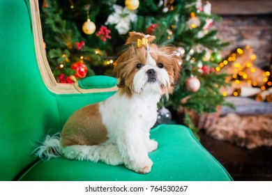 little shih tzu, holiday, New Year, christmas