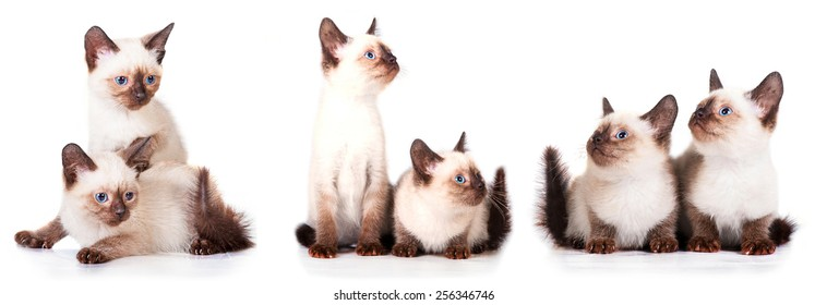 Little siamese kittens isolated on white background