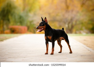 Little smiling black dog (miniature pinscher or minipin) standing and looking into the distance. Beautiful autumn park in the background.